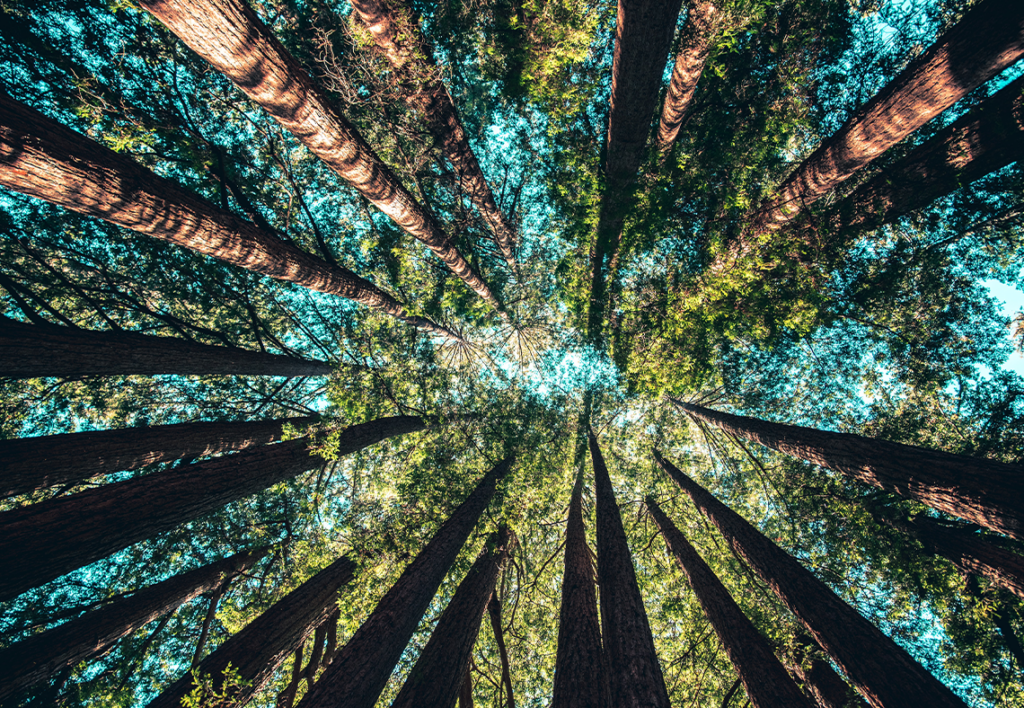 Looking up through a forest of tall trees against a blue sky background.